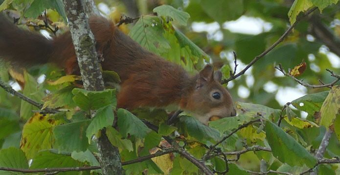 Red Squirrels visit the garden regularly!